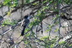 Arabian Warbler - Arabische Zwartkop