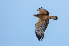 Crested Honey Buzzard - Aziatische Wespendief