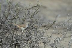 Asian Desert Warbler - Aziatische Woestijngrasmus