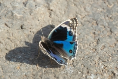Blue Pansey