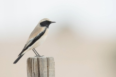 Woestijngrasmus - Desert Wheatear