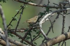 Plain Leaf Warbler - Dwergtjiftjaf
