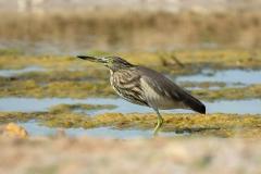 Indian Pond Heron - Oostelijke Ralreiger