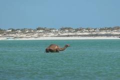 Camel - Dromedaris