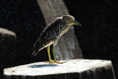 Black-crowned night heron - Kwak