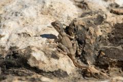 Pseudotrapelus dhofarensis