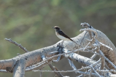 Variable Wheatear - Picatatapuit