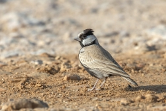 Black-crowned Finch-lark - Zwartkruinvinkleeuwerik