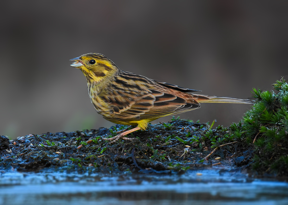 Geelgors - Yellowhammer